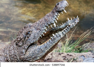 close-up of crocodile head with opened jaw exposing teeth taken outdoor, next to the river on sunny day