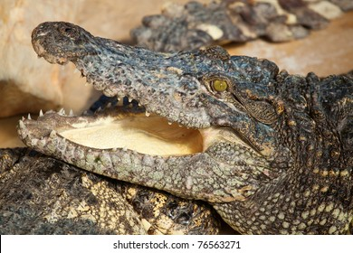 Closeup of a crocodile with open mouth