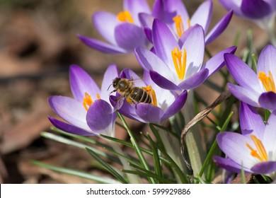 closeup crocus with bee