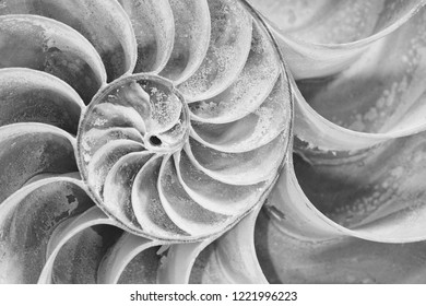 Closeup of cross section of a Nautilus shell in black and white
