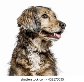 Close-up of a Crossbreed dog sticking the tongue out, isolated on white