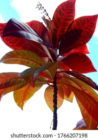 Closeup of a croton with red leaves in front of a light blue sky