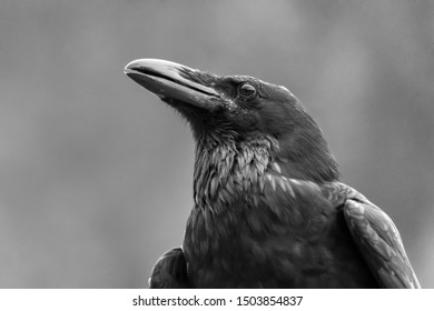Closeup of a crow in black & white