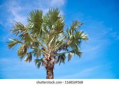 Closeup of the crown of a tropical palmetto palm tree, the state tree of South Carolina and Florida, on a bright sunny day