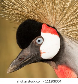 Close-up of a crowned crane (zoo, Holland)