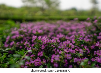 Closeup of Cuphea hyssopifolia, the false heather, Mexican heather, Hawaiian heather or elfin herb in the park