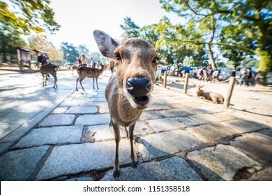 Close-up of a curious baby deer in Nara Park