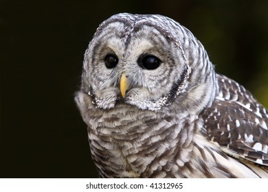 Closeup of a curious Barred Owl.
