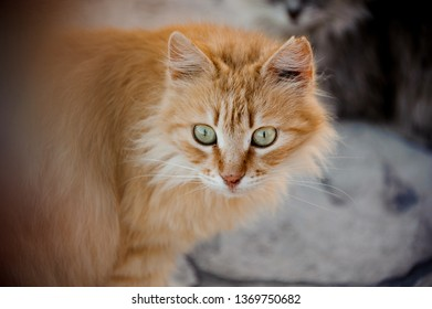 Close-up of the curious, fluffy ginger cat with green eyes with another cat on background