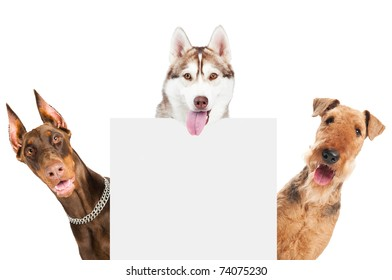 closeup curious heads of Airedale Terrier, Doberman pinscher and husky dogs isolated on white