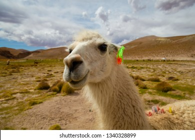 Closeup of a Curious Llama (Lama glama) a High Altitude Domestic Camelid from The Andes in South America