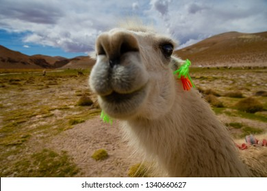 Closeup of a Curious Llama (Lama glama) a High Altitude Domestic Camelid from The Andes in South America - Selective Focus on Eyes