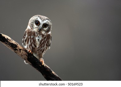 Closeup of a curious Saw-Whet Owl.
