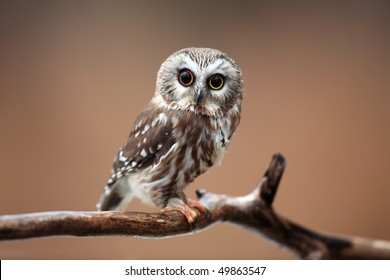 Closeup of a curious Saw-Whet Owl against a blurred autumn background.