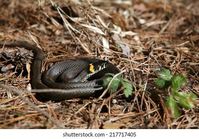 close-up curled black adder with yellow spots in the forest in the spring