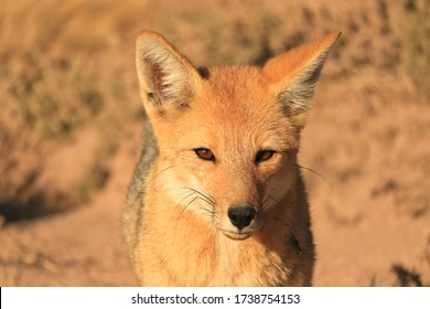 Closeup a Cute Andean Fox or Zorro Culpeo Relaxing in Desert Brush Field of the Chilean Altiplano, Northern Chile, South America