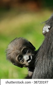 close-up of a cute baby gorilla