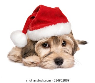 Close-up of a cute Bichon Havanese puppy dog in Christmas hat - Isolated on a white background