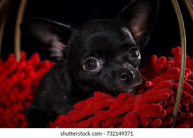 Close-up cute black Chihuahua puppy sitting in a handmade basket on a black background.
