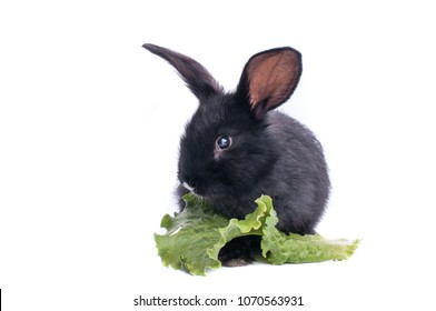 close-up of cute black rabbit eating green salad, isolated