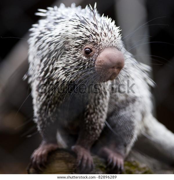 Close-up of a cute Brazilian Porcupine (Coendou prehensilis; shallow DOF)
