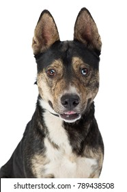 Closeup of cute brown, black and white medium size mixed Shepherd breed dog with happy expression