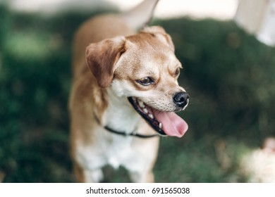 Close-up of cute brown dog outdoors, big eyes puppy with tongue sticking out head portrait, animal adoption concept