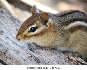close-up of a cute chipmunk