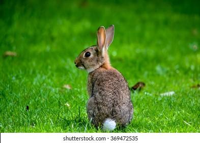Closeup of cute cottontail bunny rabbit