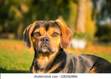 Close-up of a cute dog (puggle) in autumn