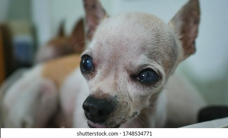 Closeup of cute domestic breed mammal chihuahua dog relaxing indoor