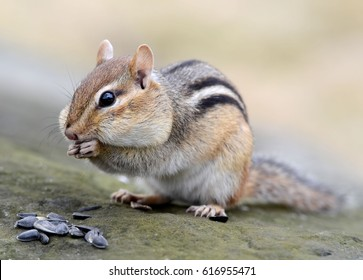 Closeup of a cute female chipmunk snacking on seeds