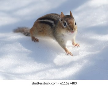 Closeup of a cute female chipmunk who dug her way out of the deep snow