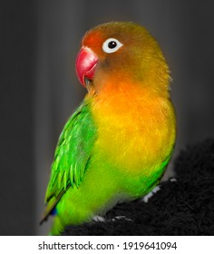 A close-up of a cute fisheri lovebird. The bird is green, yellow and red.