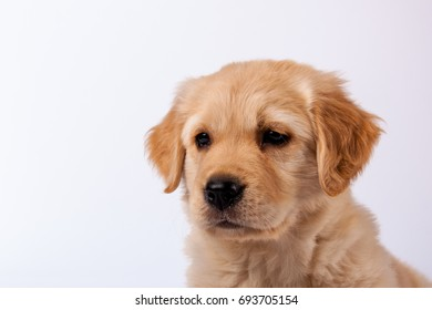 Close-up of cute Golden Retriever Puppy