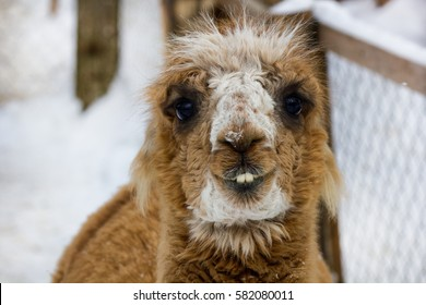 Closeup of cute lama face smiling with teeth