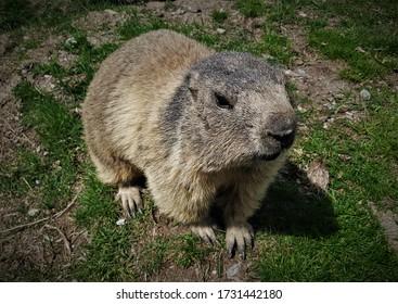 Closeup of Cute Little Alpine Marmot in Saas-Fee, Valais, Switzerland in Spring
