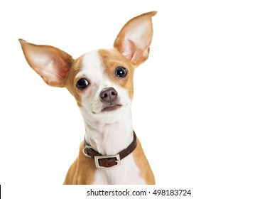Closeup of cute little Chihuahua dog with big ears looking into camera with sweet expression