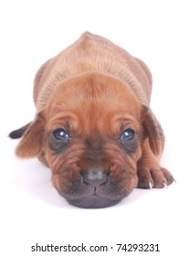 Closeup of a cute little two weeks old Rhodesian Ridgeback hound dog puppy face with opened eyes staring (focus on face). Image isolated on white background.
