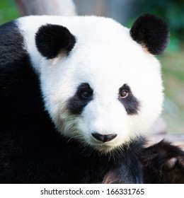 Closeup of a cute Panda Bear