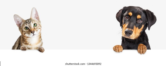 Closeup of cute puppy dog and kitten together hanging paws over blank white web banner or social media header