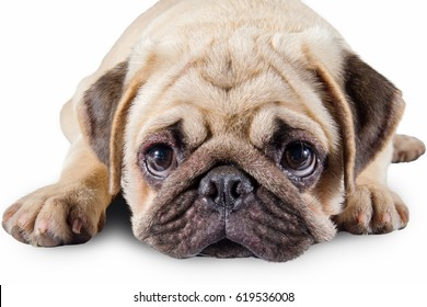 Close-Up cute puppy Pug Isolated on a White Background.