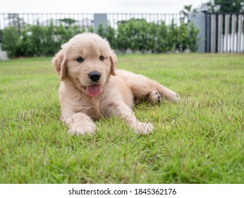 Close-up a cute puppy sleeps on the grass in the yard and looking outside. A lovely Golden Retriever dog on the meadow in front of the house