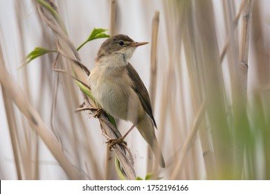Close-up of cute reed-warbler songbird in dry reeds on light natural background
