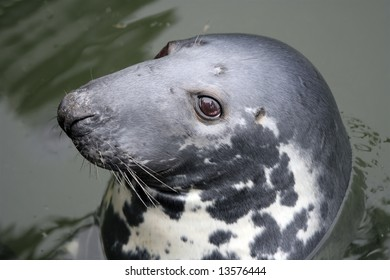 Close-up of a cute sea lion swimming in the North Sea