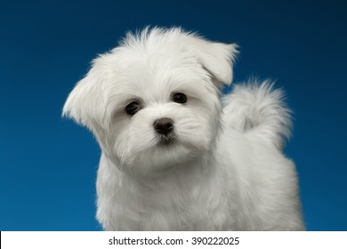 Closeup Cute White Maltese Puppy with Funny tail Looking in Camera isolated on blue background