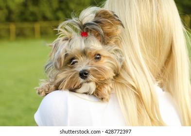 Closeup of cute Yorkshire terrier on shoulders of blonde woman