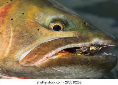 Close-Up Cutthroat