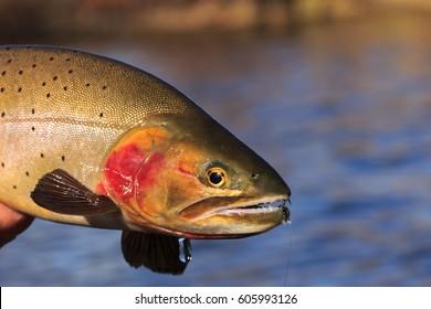 Close-Up Of A Cutthroat Trout