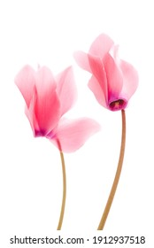 Closeup of cyclamen isolated on white background